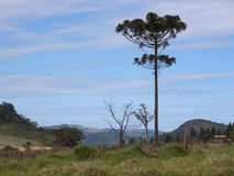 Araucaria. Tree ( angustifolia) in rural Tamarana County, State of Parana, Brazil Stock Photography