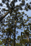 Araucaria tree Araucaria angustifolia. Coniferous forest nature green Stock Images