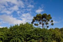 Araucaria Tree. At Botanical Garden, Curitiba, Brazil Royalty Free Stock Image