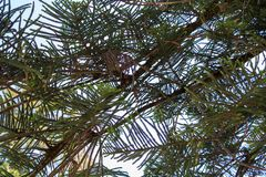 Araucaria tree branches stock images