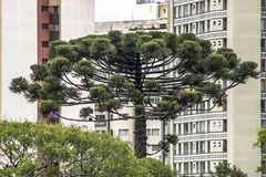 Araucaria tree and buildings. Araucaria tree and building in Curitiba city, Parana State Stock Photography