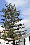 Araucaria tree in the centre of Frigiliana - Spanish white village Andalusia. Beautiful and charming with its narrow streets and footpaths white village Royalty Free Stock Images