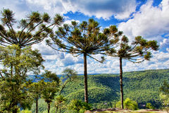 Araucaria Tree. At Ferradura Park, Canela City, Rio Grande do Sul, Brazil Royalty Free Stock Image