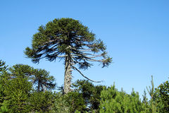 Araucaria tree. Forest. Araucaria green tree, family Araucariaceae Royalty Free Stock Images