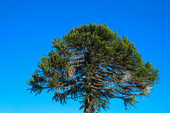 Araucaria tree. In the forest. Araucaria green tree, family Araucariaceae Royalty Free Stock Photo