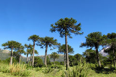 Araucaria tree forest. Araucaria green tree, family Araucariaceae trees growing near the road, blue sky without clouds, beautiful scenery sunny day Stock Photo