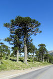 Araucaria tree. Forest. Araucaria green tree, family Araucariaceae trees growing near the road, blue sky without clouds, beautiful scenery sunny day Royalty Free Stock Image