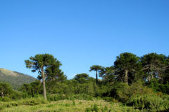 Araucaria tree forest. Araucaria green tree, family Araucariaceae trees growing near the road, blue sky without clouds, beautiful scenery sunny day Royalty Free Stock Image