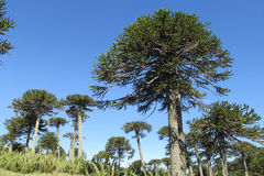 Araucaria tree forest Royalty Free Stock Image