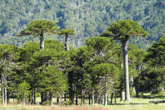 Araucaria tree forest. Araucaria green tree, family Araucariaceae trees growing near the road, blue sky without clouds, beautiful scenery sunny day Stock Photography