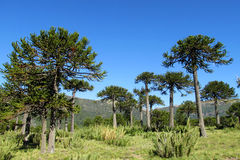 Araucaria tree forest. Araucaria green tree, family Araucariaceae trees growing near the road, blue sky without clouds, beautiful scenery sunny day Stock Image