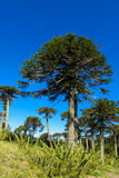 Araucaria. Tree in the forest.  green tree, family ceae Stock Photo