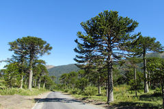 Araucaria tree forest near the asphalt road. Araucaria green tree, family Araucariaceae trees growing near the road, blue sky without clouds, beautiful scenery Royalty Free Stock Photos