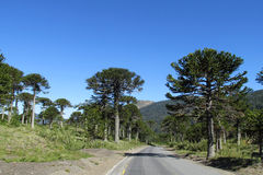 Araucaria tree forest near the road. Araucaria tree forest. Araucaria green tree, family Araucariaceae trees growing near the road, blue sky without clouds Stock Image