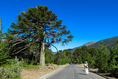 Araucaria tree. In the forest near the road and tourist making pictures. Araucaria green tree, family Araucariaceae Royalty Free Stock Images