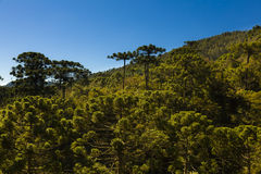 Araucaria tree forest. Under a blue sky in Minas Gerais, Monte Verde Royalty Free Stock Images