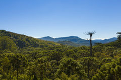 Araucaria tree forest. Under a blue sky in Minas Gerais, Monte Verde Stock Photo