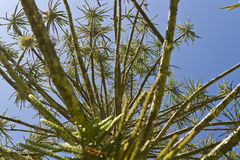 Araucaria tree. Low angle view. More options in my profile Royalty Free Stock Photo