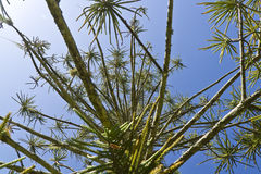 Araucaria tree. Low angle view. Pine, araucaria. more options in my profile Royalty Free Stock Photos