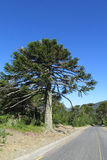 Araucaria tree near the road. Araucaria green tree, family Araucariaceae trees growing near the road Royalty Free Stock Photography