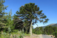 Araucaria tree near the road. Araucaria green tree, family Araucariaceae trees growing near the road, blue sky without clouds, beautiful scenery sunny day Royalty Free Stock Photography