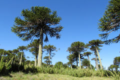 Araucaria tree near the road. Araucaria green tree, family Araucariaceae trees growing near the road, blue sky without clouds, beautiful scenery sunny day Royalty Free Stock Photos