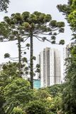 Araucaria tree and skyline. Araucaria tree and building in Curitiba city, Parana State Royalty Free Stock Photography