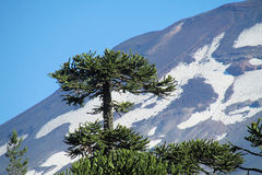 Araucaria tree and snow mountain. Araucaria green tree, family Araucariaceae trees growing snow mountain Royalty Free Stock Photo