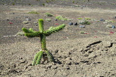 Araucaria tree sprout. On desert volcanic soil Stock Photo
