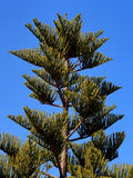 Araucaria  tree. Top of an elderly tree of araucaria Royalty Free Stock Photography
