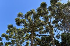 Araucaria tree. Typical tree of the city Campos do Jordao in Sao Paulo State, araucaria, in a beauty blue day Stock Image