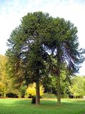 Araucaria trees Stock Images