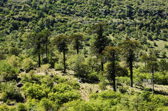 Araucaria trees. High in the mountains of the Biobío, Chile Royalty Free Stock Photo