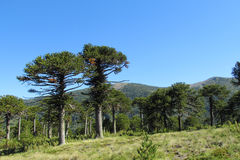 Araucaria trees forest. Araucaria tree forest. Araucaria green tree, family Araucariaceae Stock Images