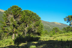Araucaria trees forest. Araucaria tree forest. Araucaria green tree, family Araucariaceae Stock Photography
