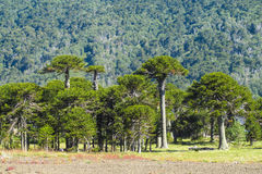 Araucaria trees forest. Araucaria tree forest. Araucaria green tree, family Araucariaceae Royalty Free Stock Photo