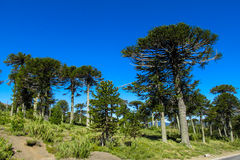 Araucaria trees forest. Araucaria tree forest. Araucaria green tree, family Araucariaceae Stock Photos