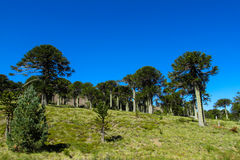 Araucaria trees forest. Araucaria tree in the forest. Araucaria green tree, family Araucariaceae Stock Photography