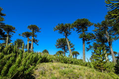 Araucaria trees forest. Araucaria tree in the forest. Araucaria green tree, family Araucariaceae Royalty Free Stock Images