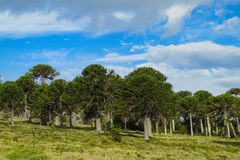 Araucaria trees forest Stock Images