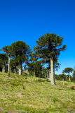Araucaria trees forest. Araucaria tree in the forest. Araucaria green tree, family Araucariaceae Stock Photos