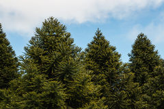 Araucaria trees growing. In forest Royalty Free Stock Images