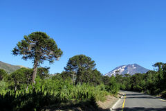 Araucaria trees near the road. Araucaria tree forest. Araucaria green tree, family Araucariaceae trees growing near the road Royalty Free Stock Photos