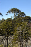 Araucaria trees. Old and tall araucaria's forest Stock Photography