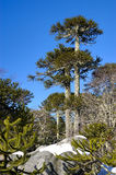 Araucaria trees. Old and tall araucaria's forest Royalty Free Stock Photos