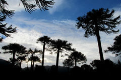 Araucaria trees silhouettes. Araucaria tree forest silhouette. Araucaria green tree, family Araucariaceae trees growing near the road, blue sky without clouds Stock Image