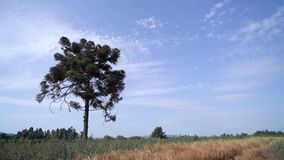 The araucaria that watched the wind in the prairies