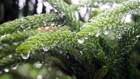 Araucariaceae qui est imbibé de la pluie L'Araucariaceae sont plein des gouttelettes aqueuses des feuilles image libre de droits