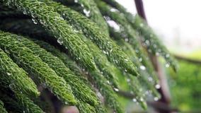 Araucariaceae qui est imbibé de la pluie L'Araucariaceae sont plein des gouttelettes aqueuses des feuilles photo libre de droits