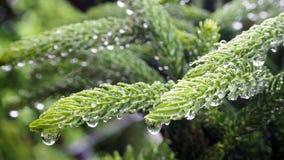 Araucariaceae qui est imbibé de la pluie L'Araucariaceae sont plein des gouttelettes aqueuses des feuilles photographie stock